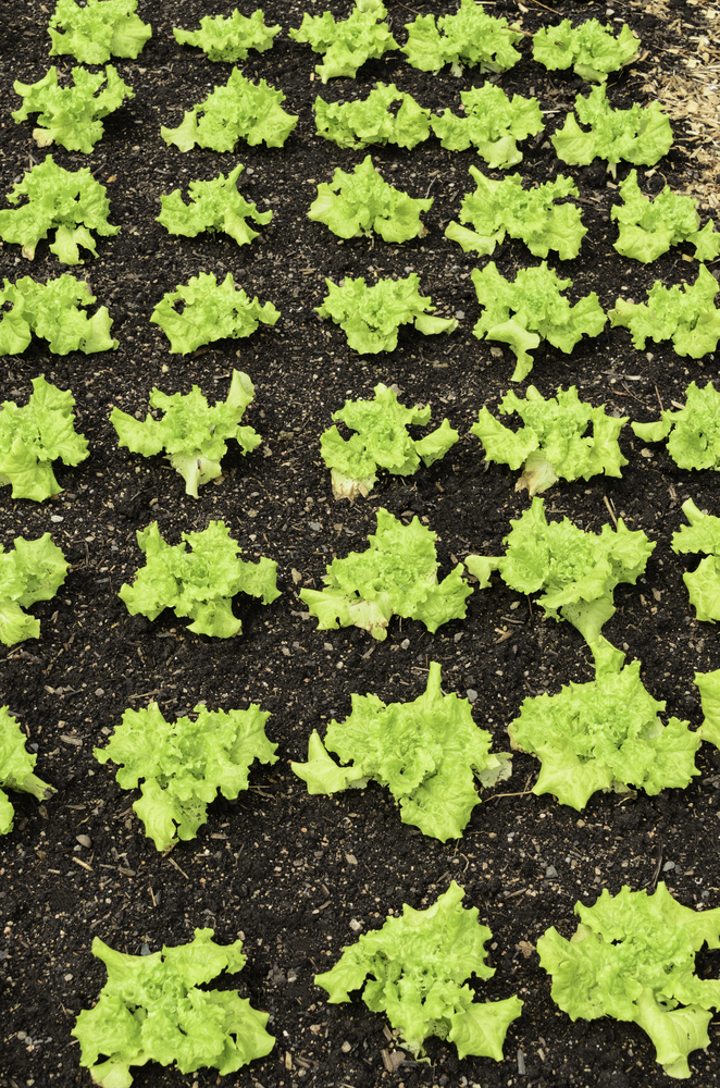 Vegetable sign of spring Looseleaf lettuce (binomial name Lactuca sativa Black Seeded Simpson), a common ingredient of salad, growing in garden rows, early May, Illinois, USA