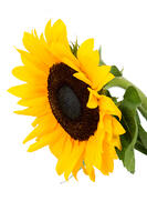 beautiful isolated yellow sunflower over a white background